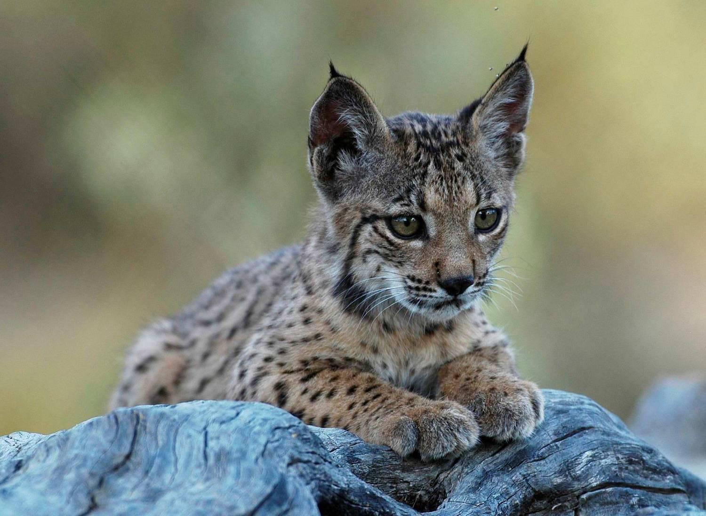 Чисельність однієї з найрідкісніших у світі диких кішок зросла до понад 400 особин